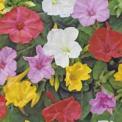 Wunderblumen-Mischung 10 Zwiebeln