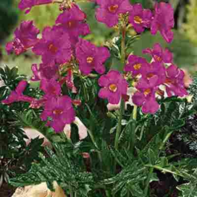 Garten-Gloxinie Rosa 10 Zwiebeln