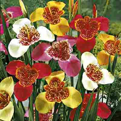 Tigerlilien-Mischung 15 Zwiebeln