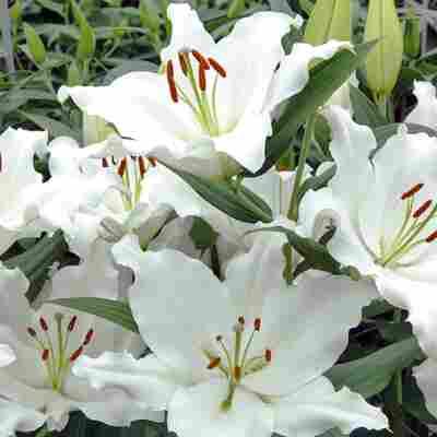 """Bio-Orientalische Lilie """"Helvetia"""" 1 Zwiebel"""