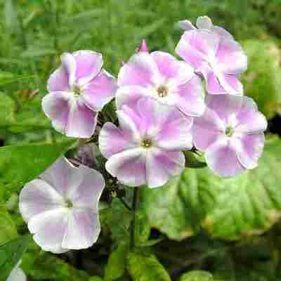 Bio-Flammenblume rosa-weiß 1 Zwiebel