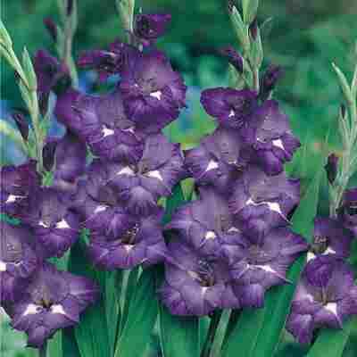 Gladiole Blau 12 Zwiebeln