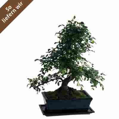Chinesische Ulme-Bonsai