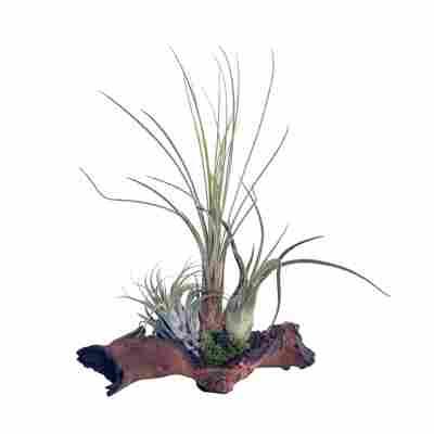 "Tillandsien-Arrangement ""3 Pflanzen auf Mopani-Holz"""
