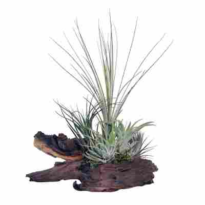 "Tillandsien-Arrangement ""5 Pflanzen auf Mopani-Holz"""