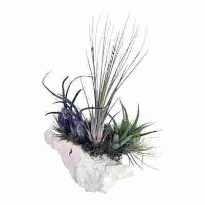 """Tillandsien-Arrangement """"3 Pflanzen auf Sansibar-Rock"""""""