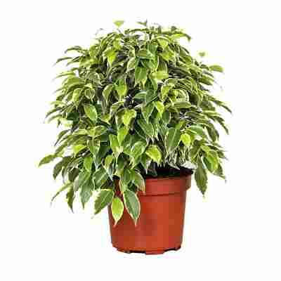 Luftverbesserer Ficus 'Kinky' 12 cm Topf
