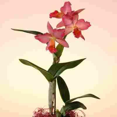 Cattleya-Orchidee rosa