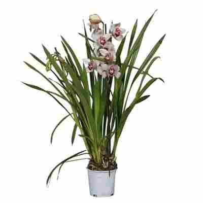 Cymbidium-Orchidee 3-Risper rosa