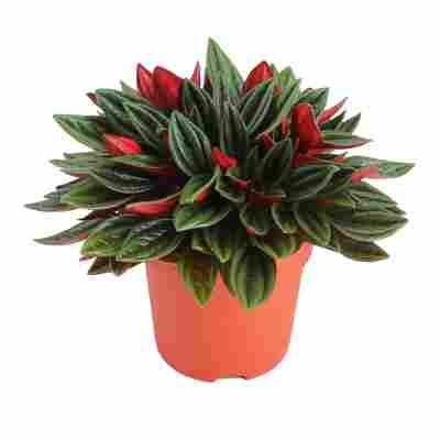 Peperomie 'Rosso' 12 cm Topf