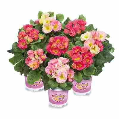Primel Girls Delight® Rosa-Mix