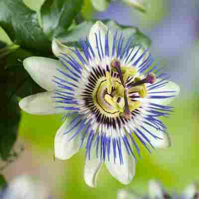 Blaue Passionsblume am Bogen
