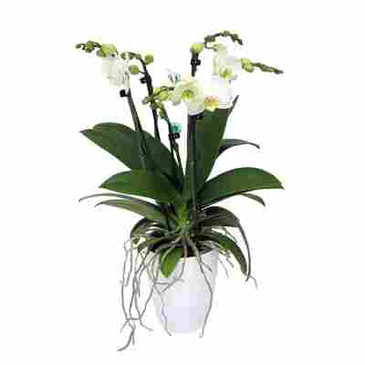 Schmetterlingsorchidee weiß 5 Rispen in Kunststoff-Übertopf
