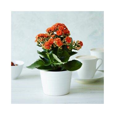 Zimmerpflanzen online bestellen ǀ toom Baumarkt